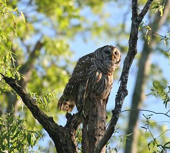 Barred Owl - Atchafalaya Swamp - Henderson, LA