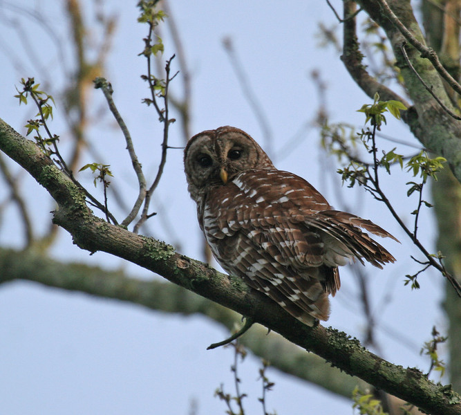 Barred Owl - Lake Fausse Point SP - St. Martinsville, LA