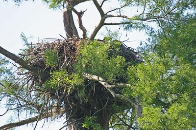 Bald Eagle Nest - Atchafalaya Swamp - Henderson, LA