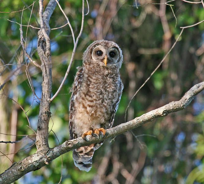 Baby Barred Owl - Atchafalaya Swamp - Henderson, LA