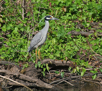 Yellow-crowned Night-Heron - Atchafalaya Swamp - Henderson, LA