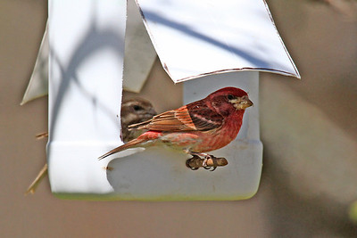 Purple Finch - Roadside Rest Stop