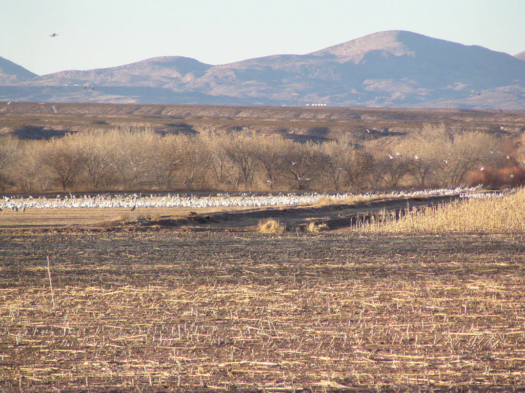 Snow Geese - Bosque del Apache NWR