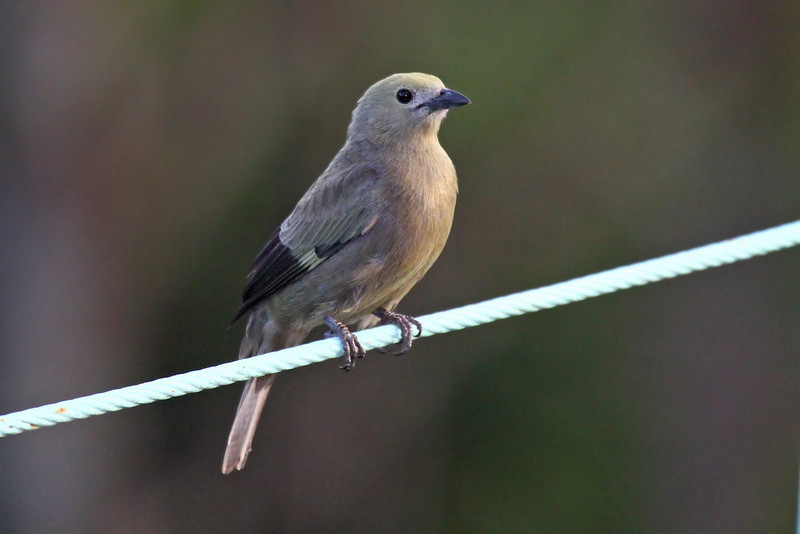 Palm Tanager - Canopy Tower