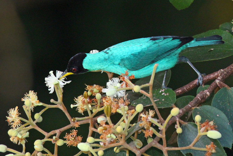 Green Honeycreeper (M) - Canopy Tower