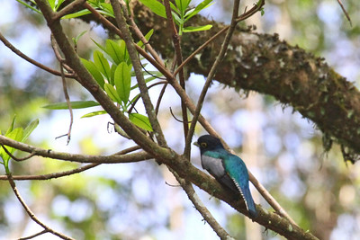 Violaceous Trogon - Canopy Tower Road