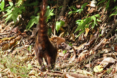 Central American Coati Canopy Tower Road