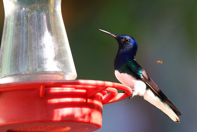 White-necked Jacobin (M)