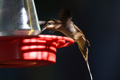 Long-billed Hermit - Canopy Tower Feeders
