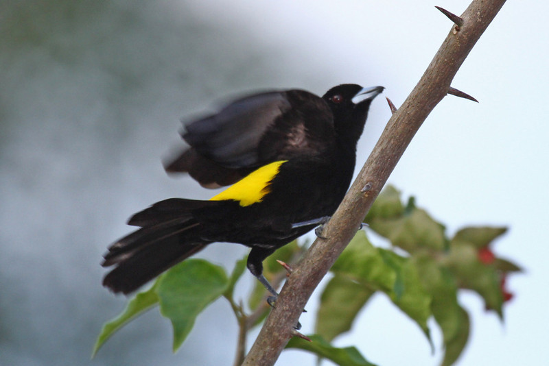 Flame-rumped Tanager  - Gamboa Rain Forest Resort