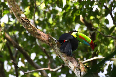 Keel-billed Toucan on Canopy Tower Road