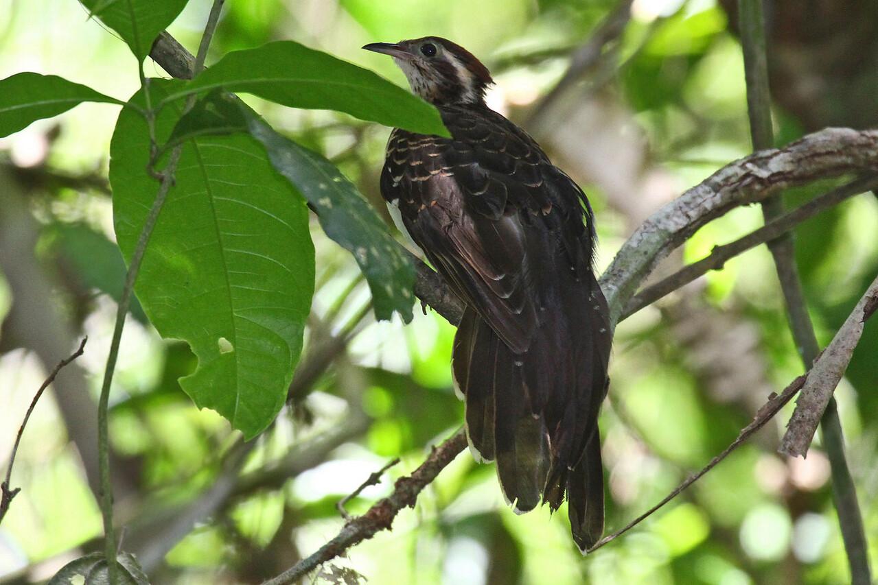 Pheasant Cuckoo - Trogon Trail