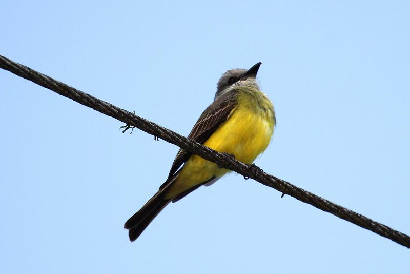 Tropical Kingbird - Gamboa Rain Forest Resort