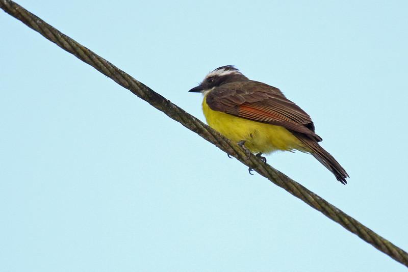 Rusty-margined Flycatcher - Gamboa Rain Forest Resort