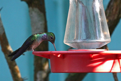 Blue-chested Hummingbird - Canopy Tower Feeders
