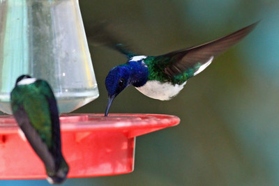 White-necked Jacobin (M) - Canopy Tower Feeders