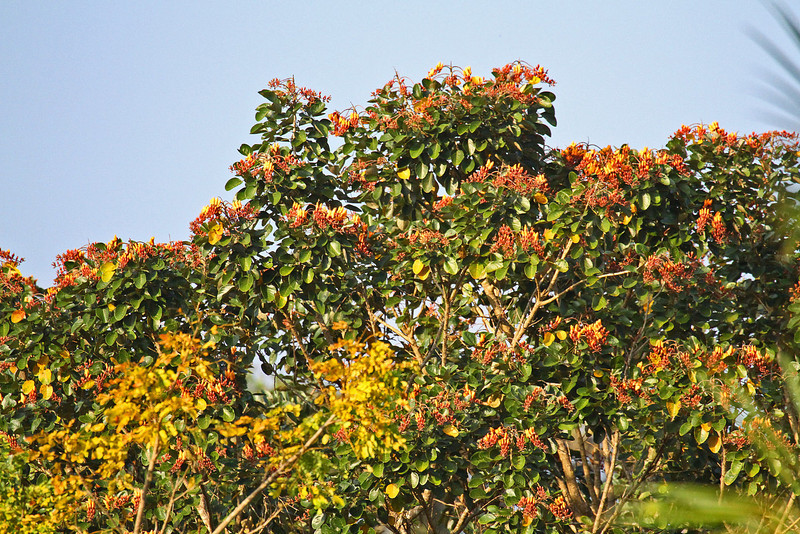 Flowering Tree - Gamboa Rain Forest Resort