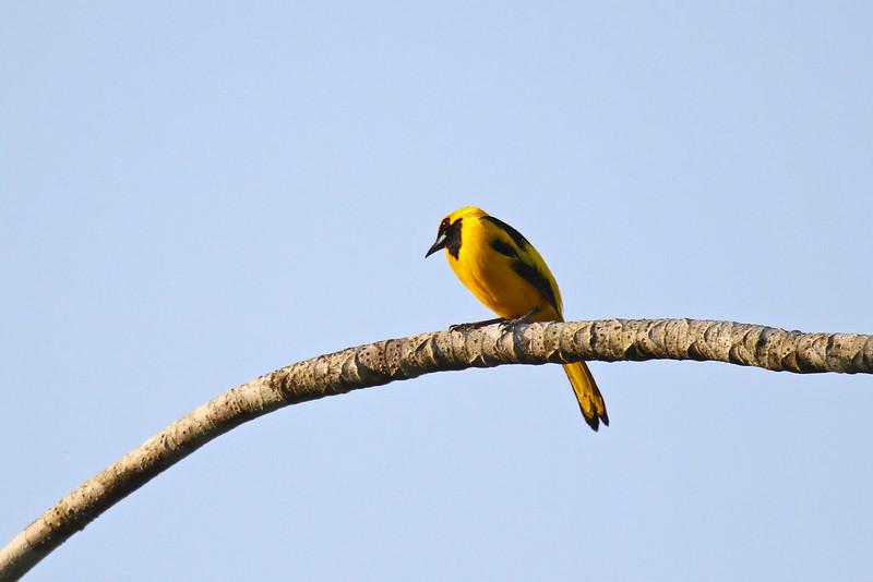 Yellow-tailed Oriole - Gamboa Rain Forest Resort
