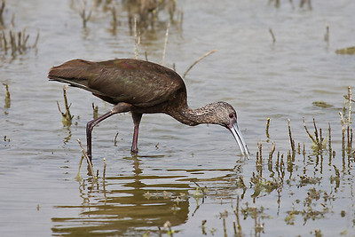White-faced Ibis - Laguna Atascosa NWR