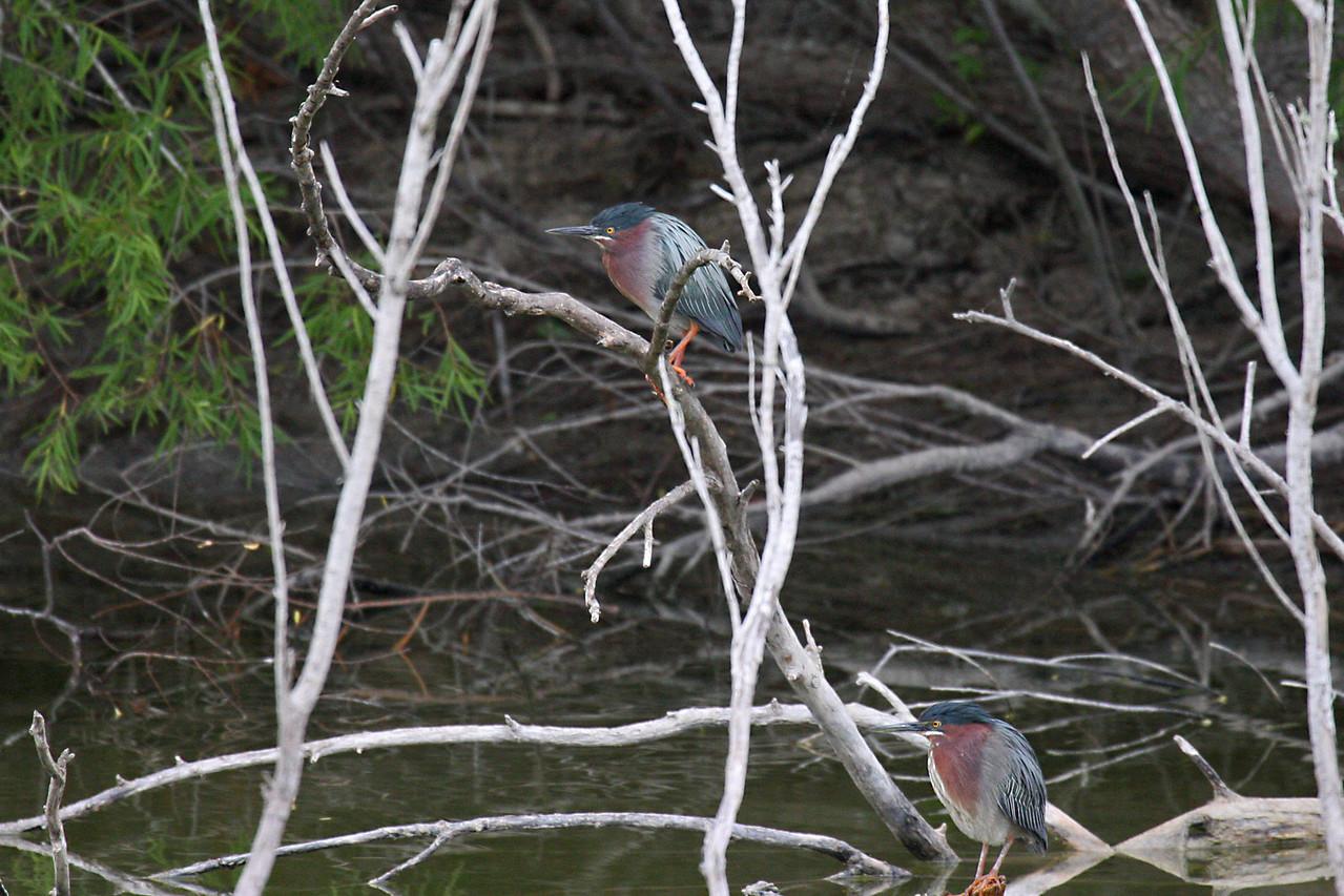Green Heron - Estero Llano Grande State Park, Weslaco, Texas