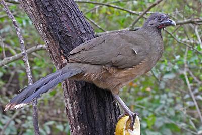 Plain Chachalaca - Frontera Audubon Sanctuary, Weslaco, Texas