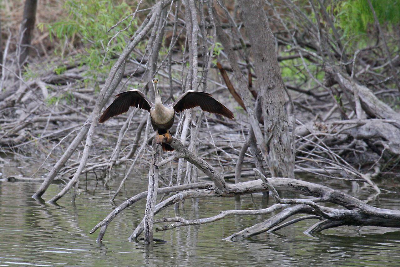 Anhinga - Estero Llano Grande State Park, Weslaco, Texas