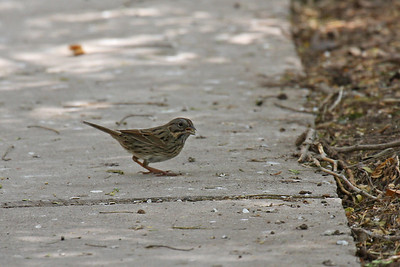 Lincoln's Sparrow - Laguna Atascosa NWR