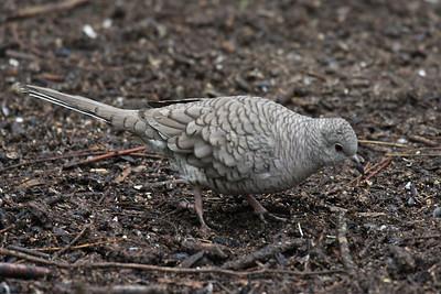 Inca Dove - Frontera Audubon Sanctuary, Weslaco, Texas
