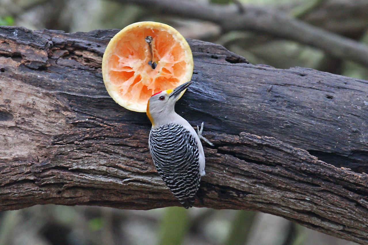 Golden-fronted Woodpecker - Frontera Audubon Sanctuary, Weslaco, Texas