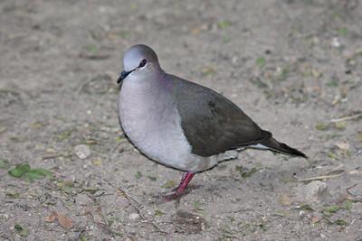 White-tipped Dove - Bentsen Rio Grande State Park, Mission, Texas