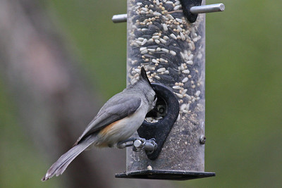 Black-crested Titmouse - Frontera Audubon Sanctuary, Weslaco, Texas