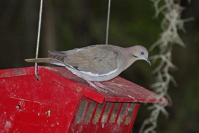 White-winged Dove - Bentsen Rio Grande State Park, Mission, Texas
