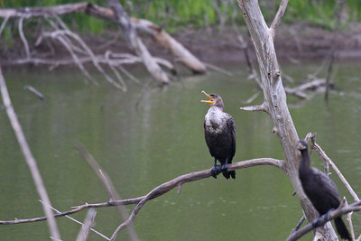 Double-crested Cormorant - Estero Llano Grande State Park, Weslaco, Texas