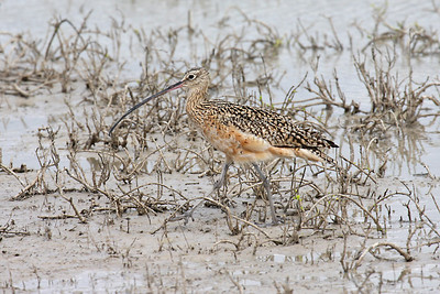 Long-billed Curlew - Laguna Atascosa NWR