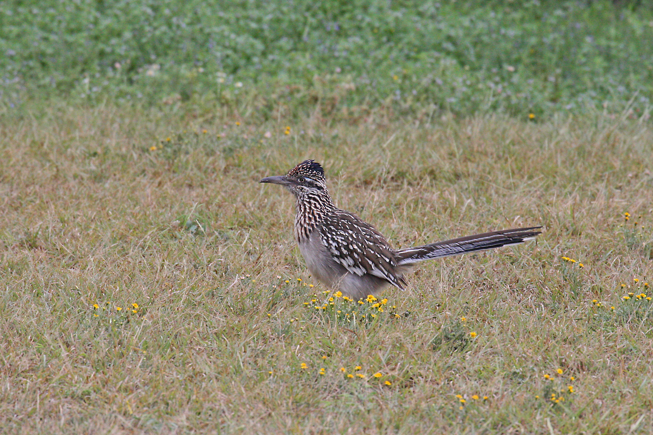 Greater Roadrunner - Falcon State Park, Falcon Lake, Texas
