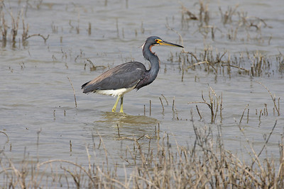 Tri-colored Heron - Laguna Atascosa NWR