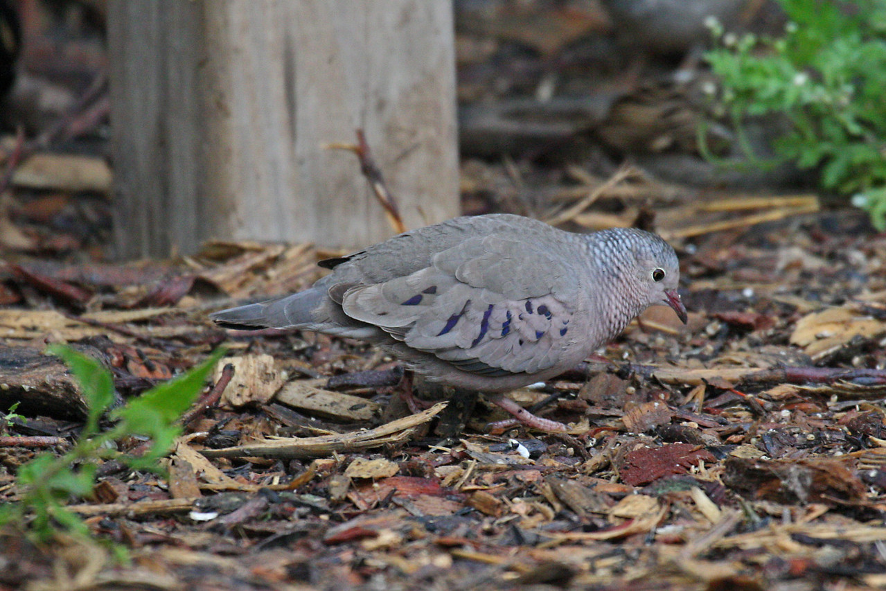 Common Ground Dove - Estero Llano Grande State Park, Weslaco, Texas