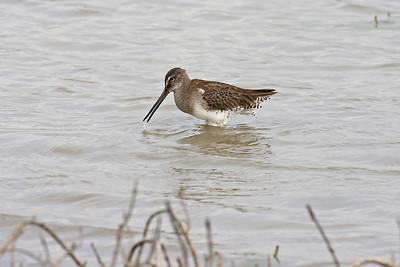 Long-billed Dowitcher - Laguna Atascosa NWR