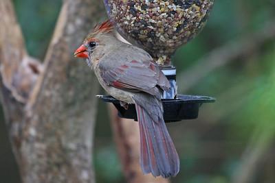 Northern Cardinal - Sabal Palm Audubon Sanctuary, Brownsville