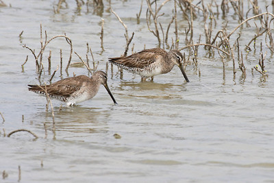 Long-billed Dowitcher - Laguna Atascosa NWR