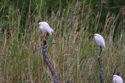 Snowy Egret - Estero Llano Grande State Park, Weslaco, Texas