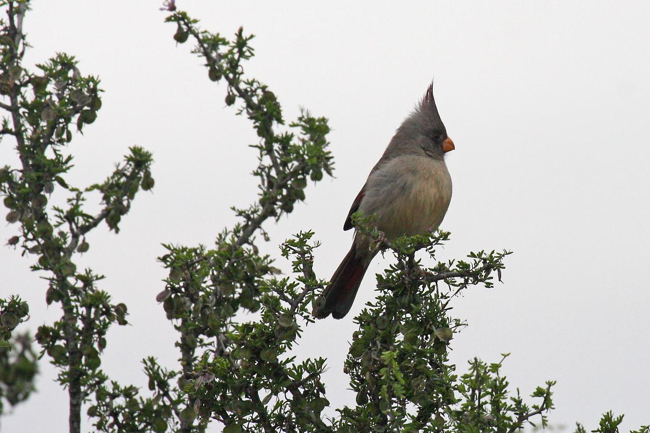 Pyrrhuloxia - Falcon State Park, Falcon Lake, Texas