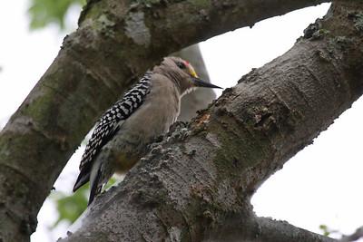 Golden-fronted Woodpecker - Sabal Palm Audubon Sanctuary, Brownsville