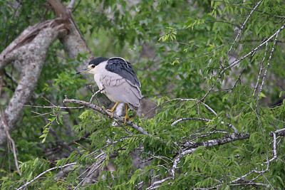 Black-crowned Night-Heron - Estero Llano Grande State Park, Weslaco, Texas