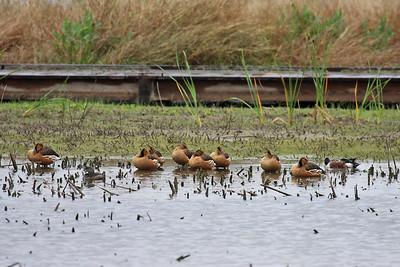 Fulvous Whistling-duck - Estero Llano Grande State Park, Weslaco, Texas