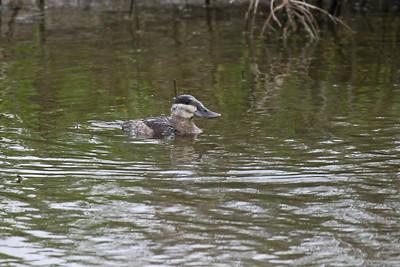Ruddy Duck - Laguna Atascosa NWR