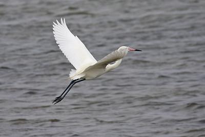 Reddish Egret - Laguna Atascosa NWR