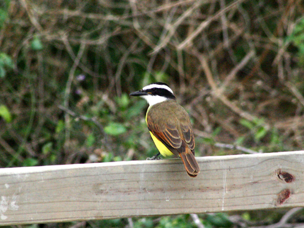 Greater Kiskadee - World Birding Center - Edinburg