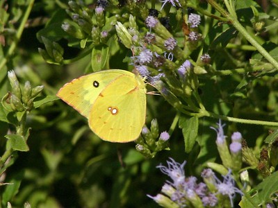 Orange Sulphur - Audubon BF Gardens near Bentsen SP