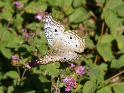 White Peacock - Audubon BF Gardens near Bentsen SP